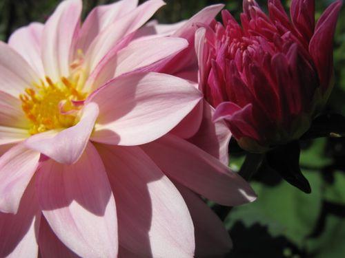 Dahlia blomst og knop