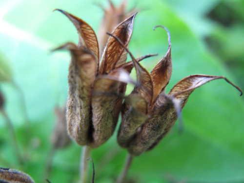 Akeleje frø