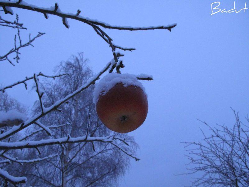 Morgen i hvidt æble med snedragt