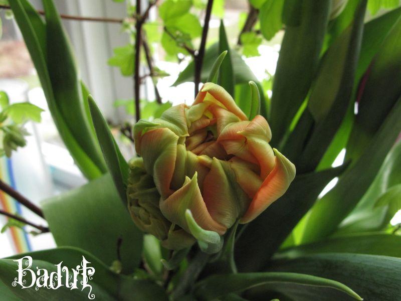 Tulipan med ribesgrene