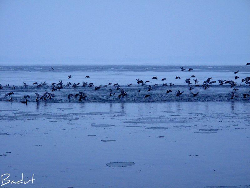 Edderfugle flyver over isen
