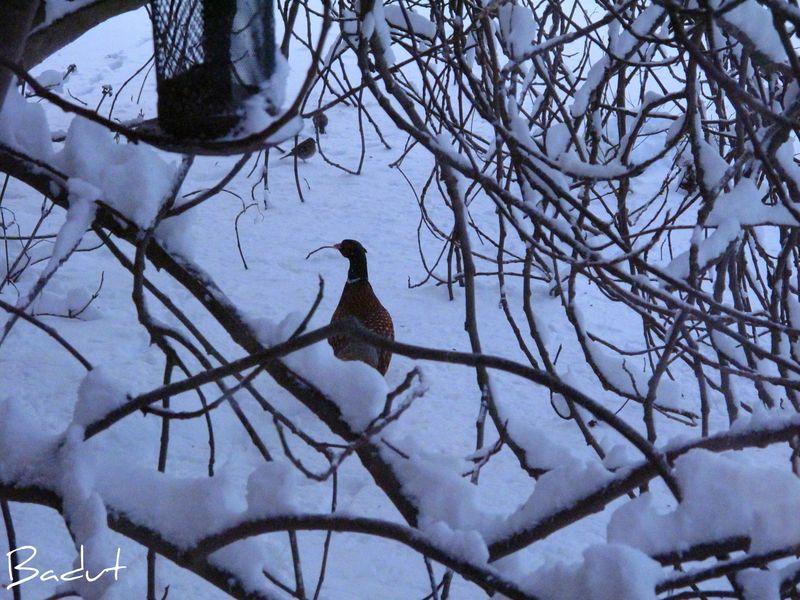 Morgenfasan med småfugle