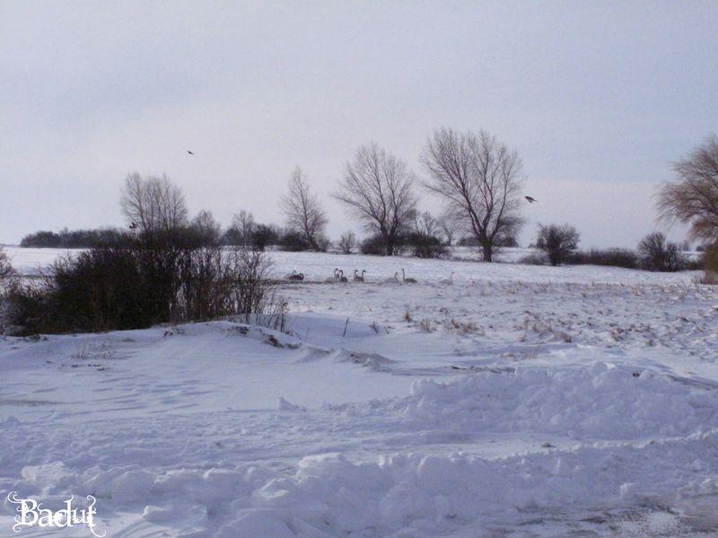 Vinter svaner