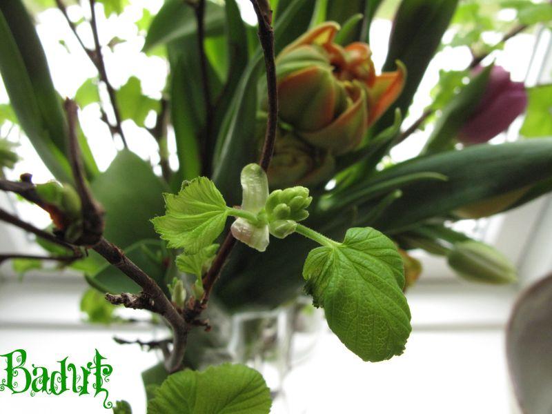 Ribes og tulipaner