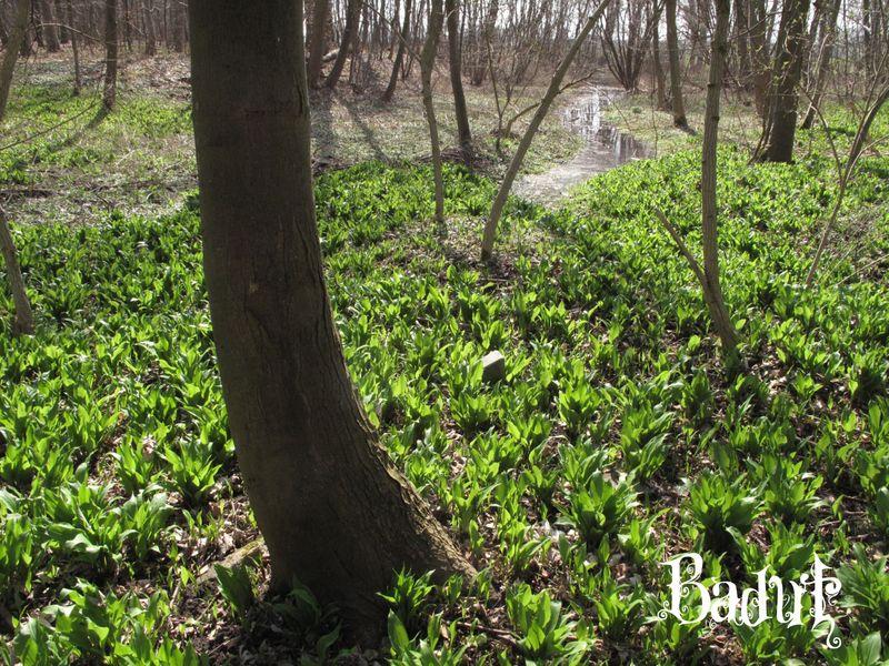 Ramsløg i skovbunden