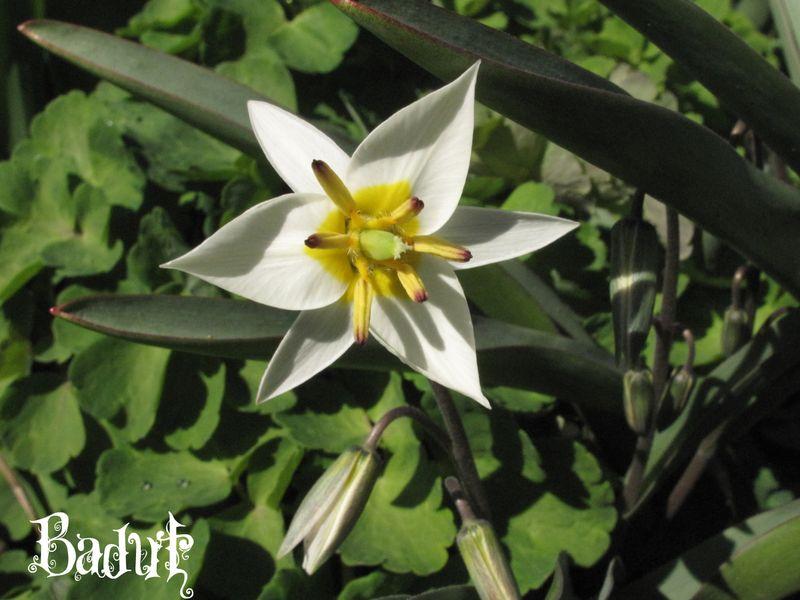 Tulipa turkestanica den lille hvide stjerne