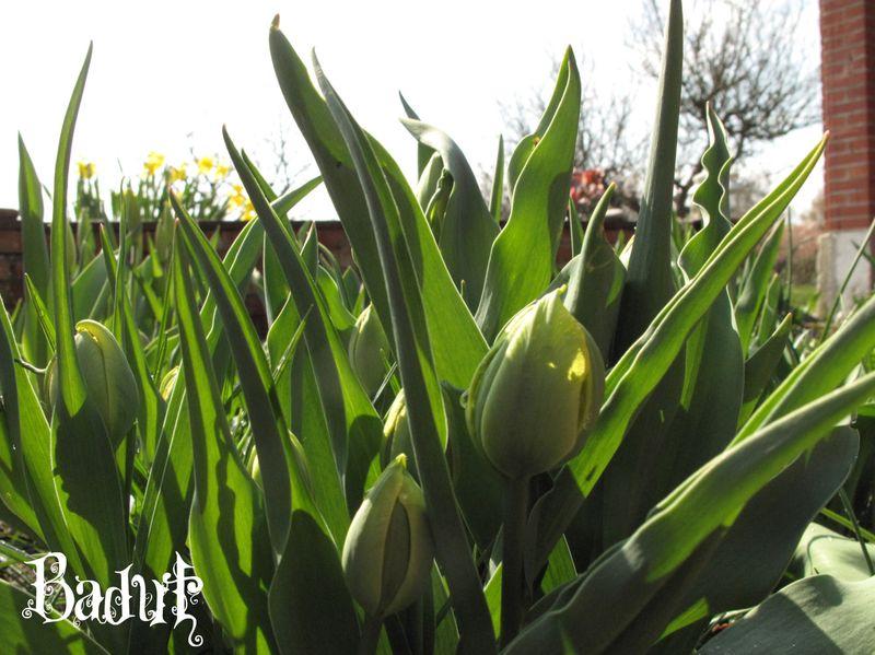 Tulipanknopper fyldte