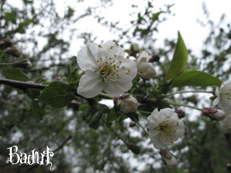 Surkirsebær