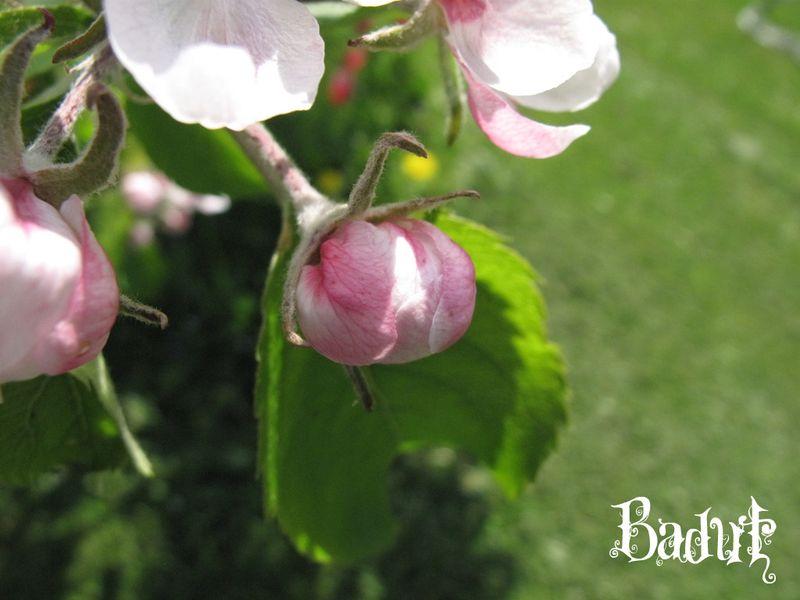 æbleblomster bedårende