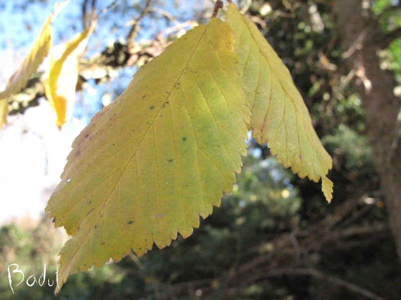 Blade på kork elm