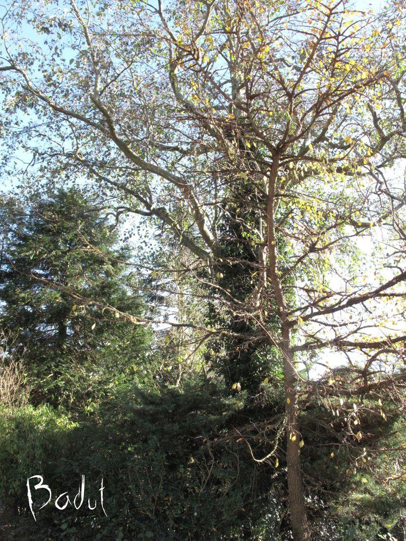 Småbladet elm kork elm