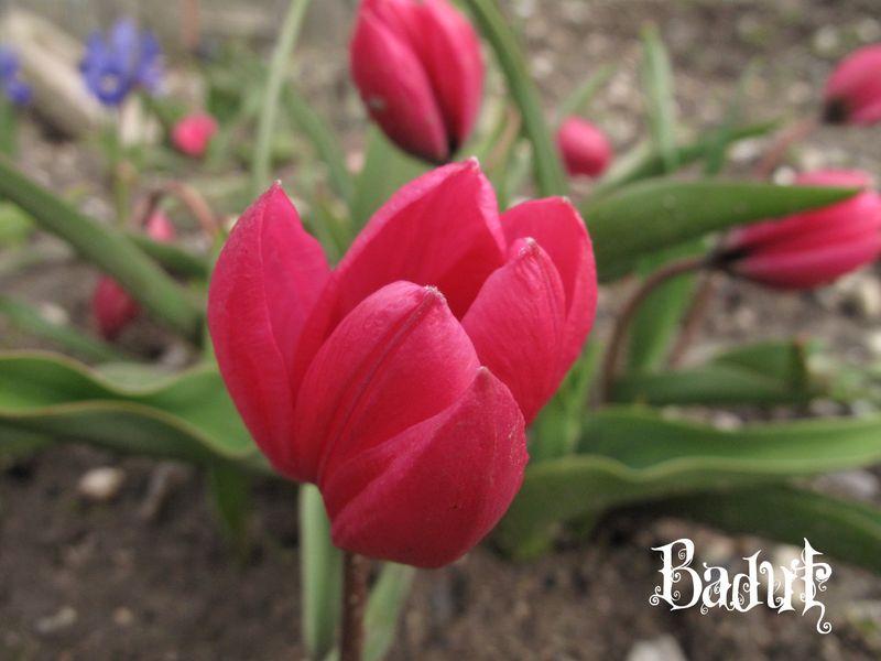 Den første tulipan Pulchella Violacea