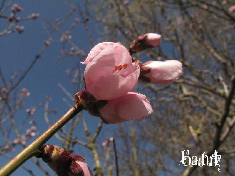 Mandeltræerne blomstre