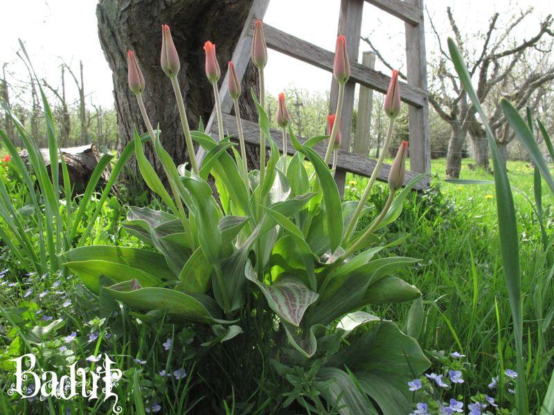 Tulipangruppe