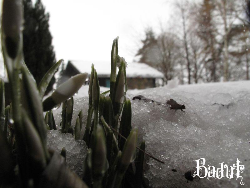 Godmorgen vintergækker