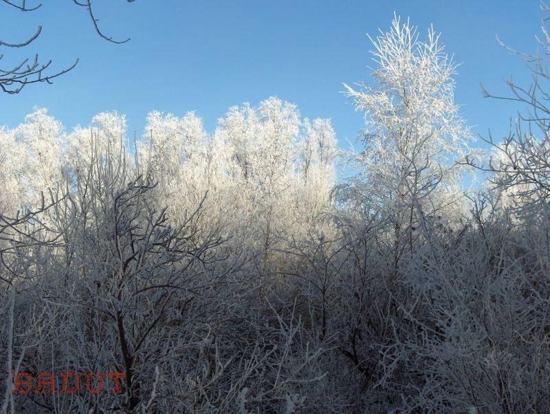 Træer i hvid festdragt