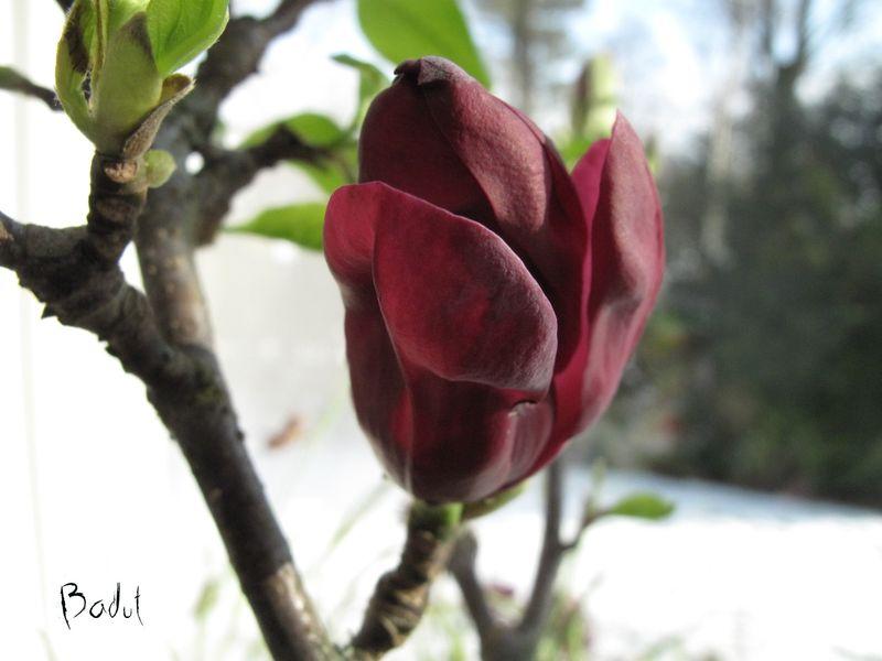 Magnolia i blomst