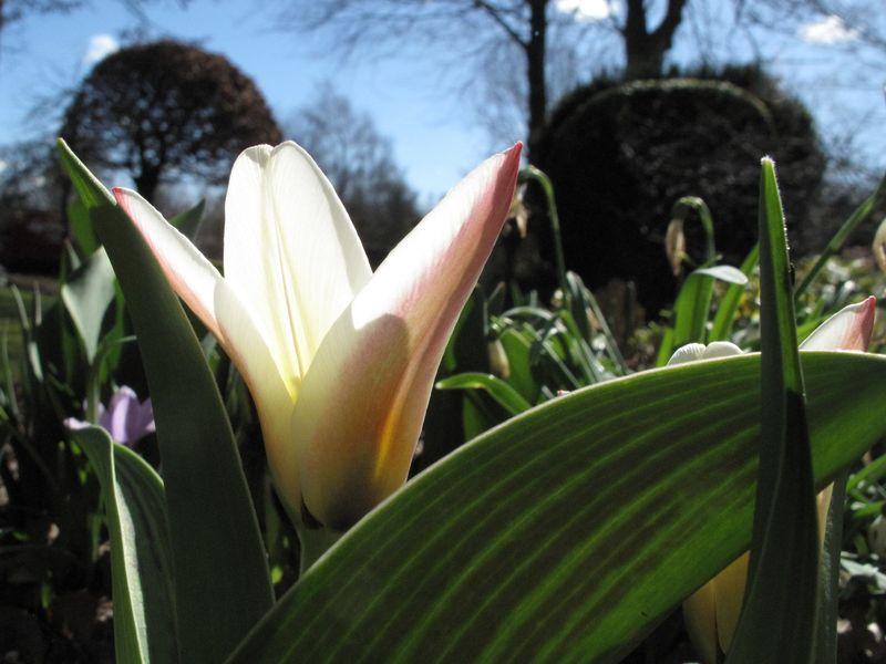 Årets første tulipan