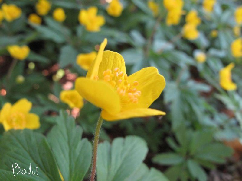 Gul anemone