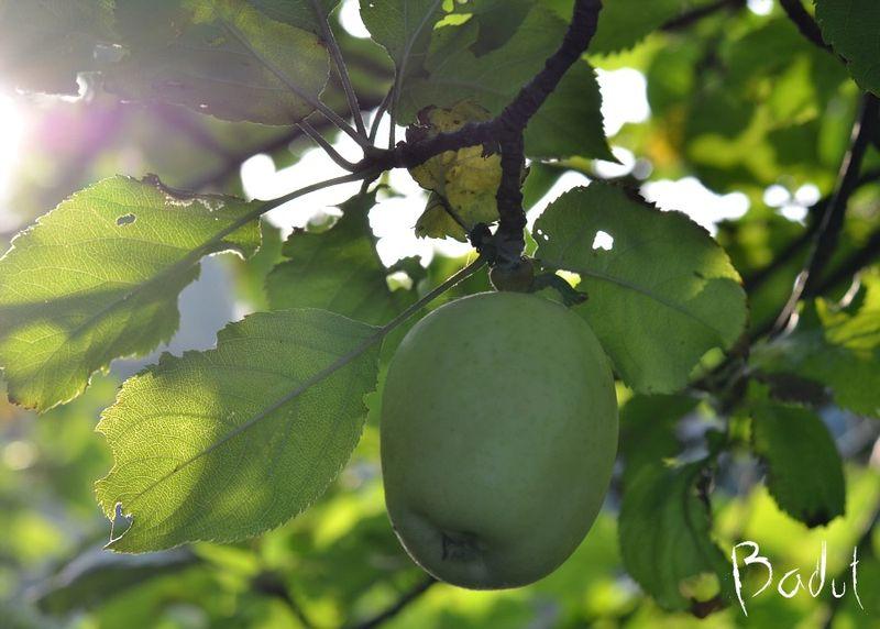 æble i morgenlys