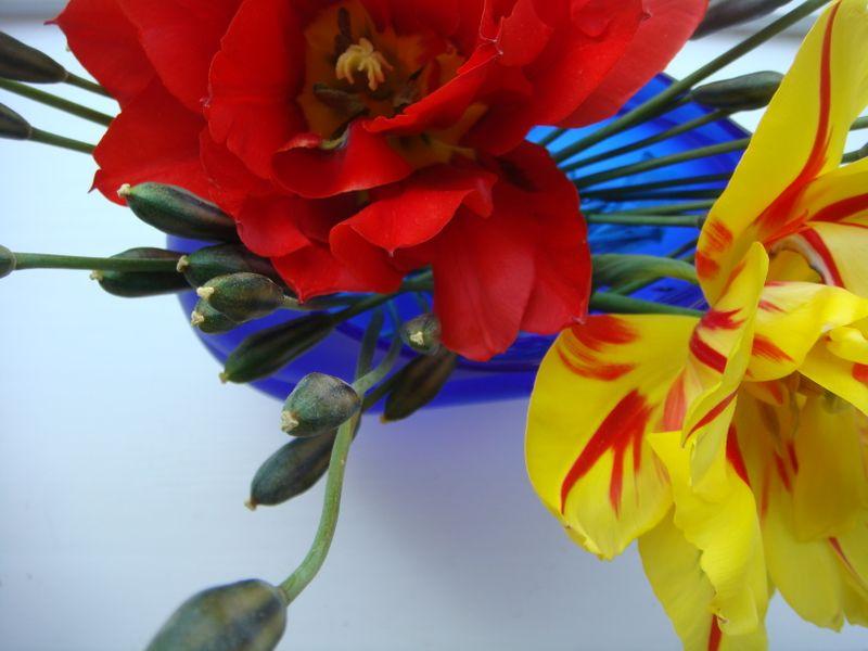 Dobbelte tulipaner i vase