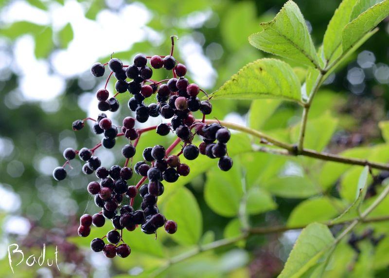 Hyldebær til hyldebærsaft