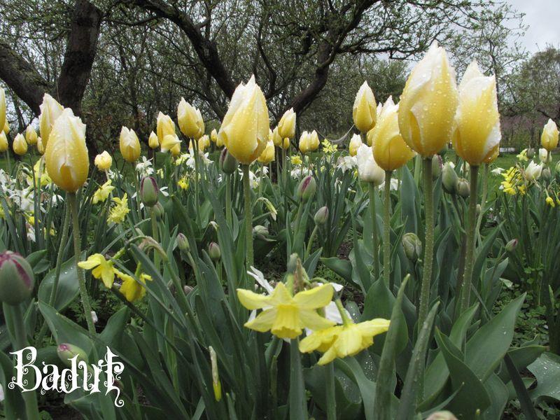 Tulipaner i foråret