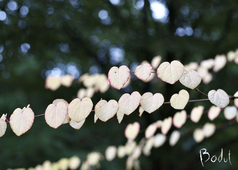 Hjertetræ ved efterårsjævndøgn