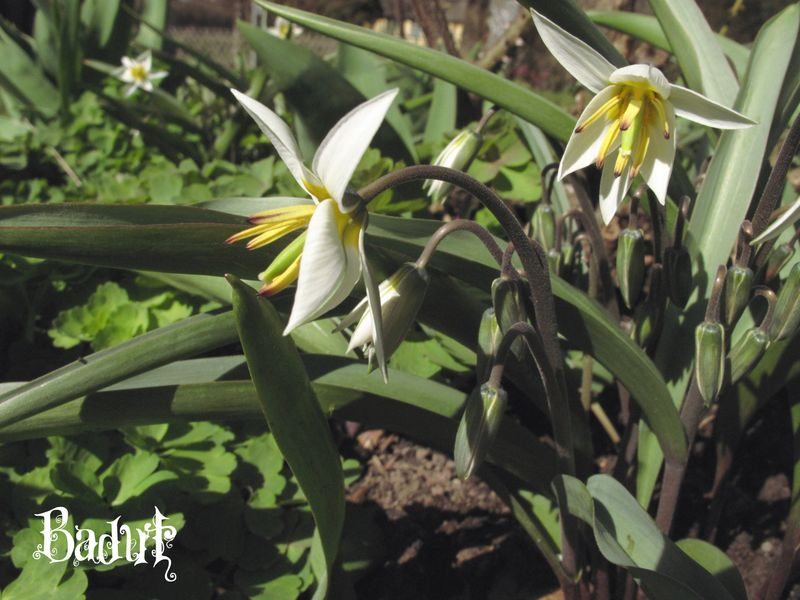 Botaniske tulipaner kommer igen år efter år