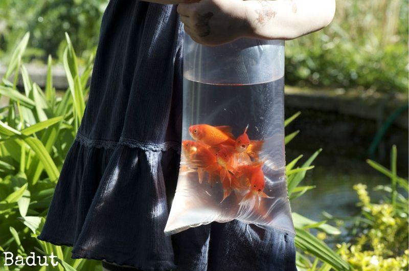 Guldfisk ved dammen