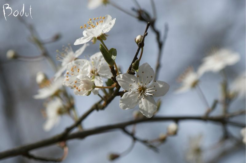 Mirabelle blomster
