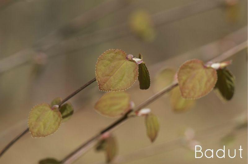 Hjertetræ forårsblade