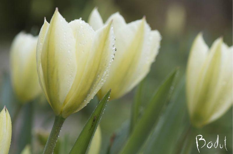 Macrobilled af tulipaner