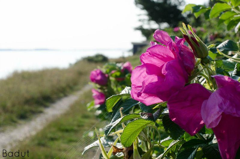 Rynket rose i blomst