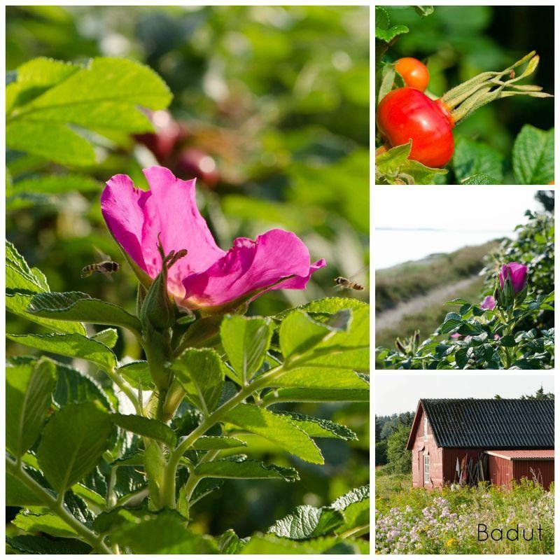 Rynket rose hybenrose rosa rugusa kær rose har mange navne