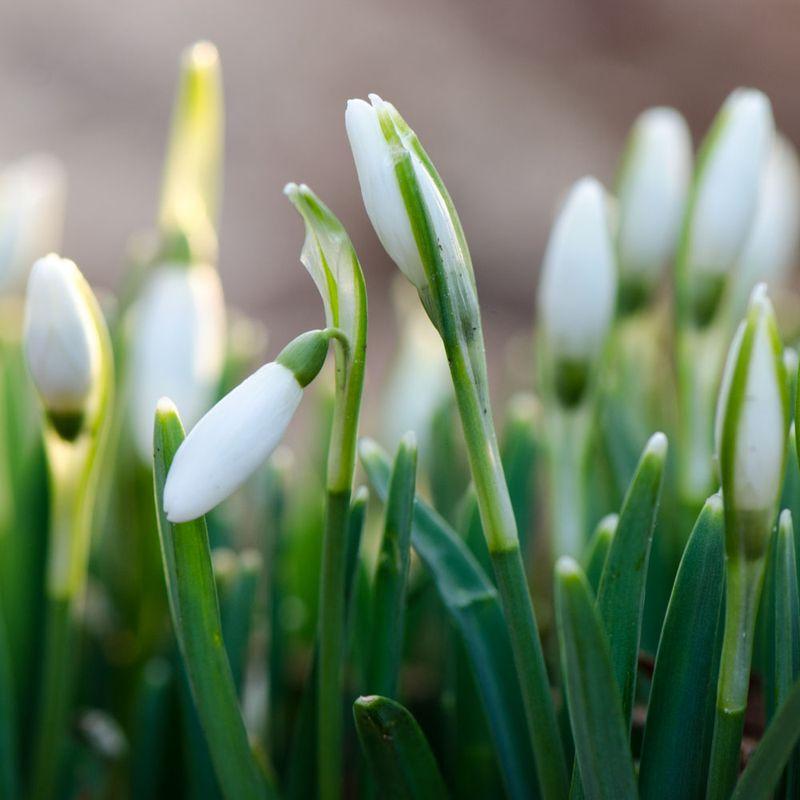 Februar vintergækker
