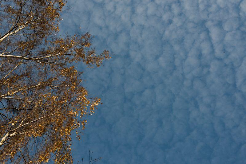 Birketræ mod himlen
