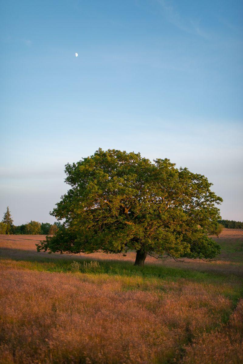 Enligt træ ved Agri Bavnehøj