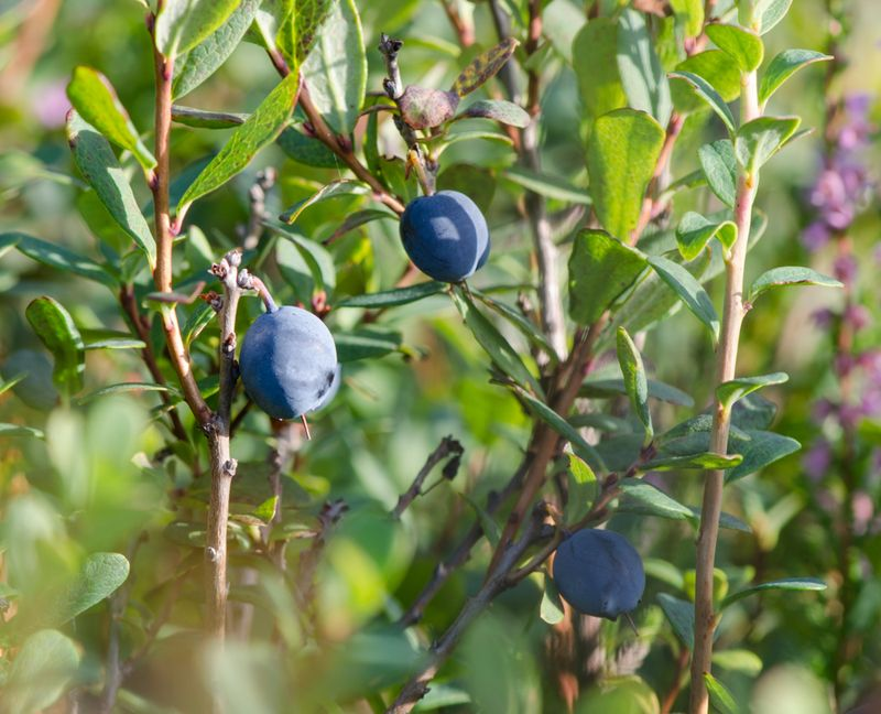 Mosebølle bær