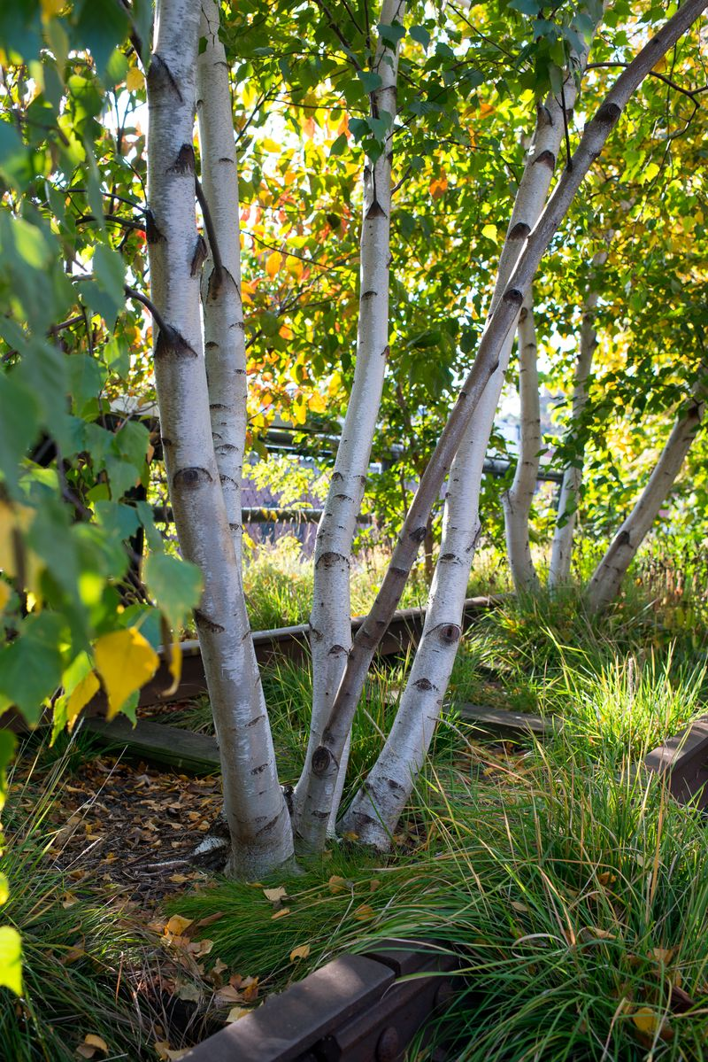 Birketræer på the High Line